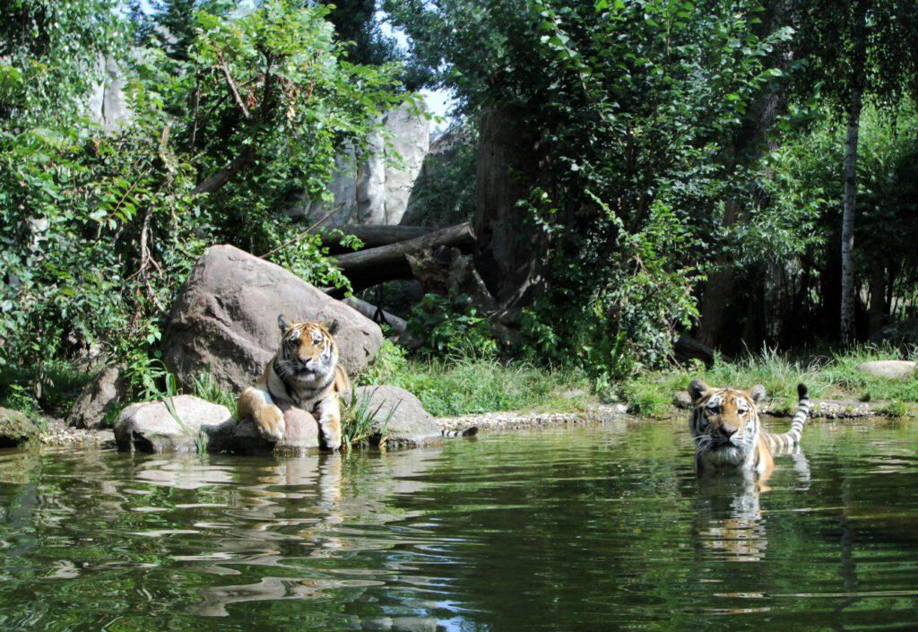 Tiger Taiga (© Zoo Leipzig)